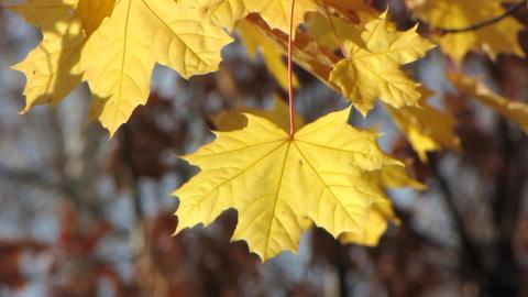 Autumn leafs 5 Footage