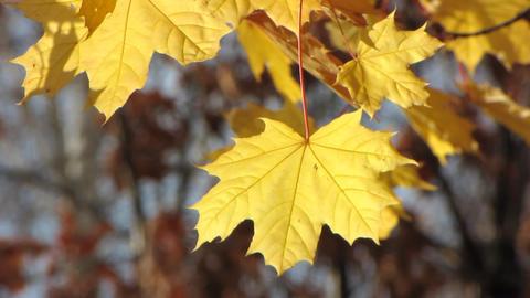 Autumn leafs 5 Stock Video Footage