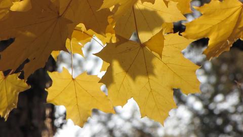 Autumn leafs 22 Stock Video Footage