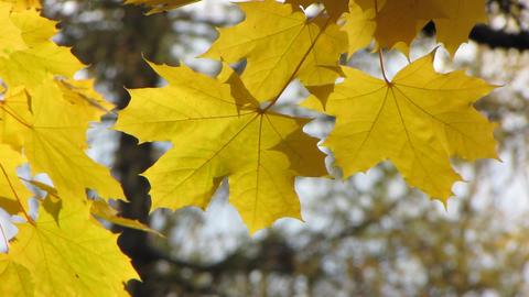 Autumn leafs 15 Stock Video Footage