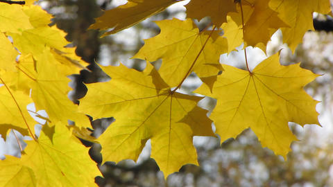 Autumn leafs 15 Footage