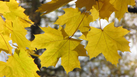 Autumn leafs 15 Stock Video Footage