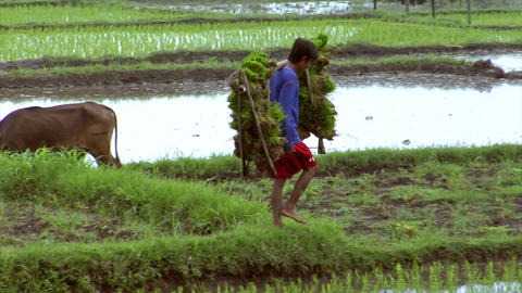 boy carries rice plants Stock Video Footage