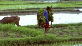 Boy Carries Rice Plants stock footage
