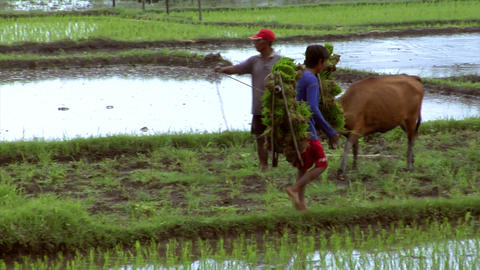 boy carries rice plants Footage