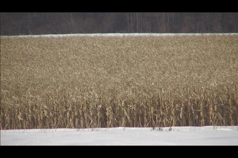 cornfield in winter Stock Video Footage