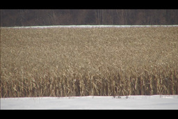 cornfield in winter Footage