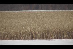 cornfield in winter Stock Video Footage