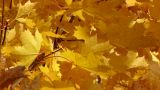 Autumn Leafs 1 stock footage