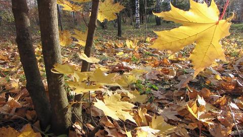 Autumn leafs 28 1 Stock Video Footage