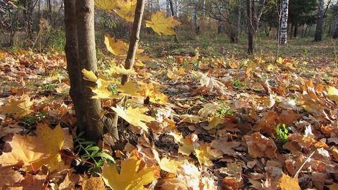 Autumn leafs 29 1 Stock Video Footage