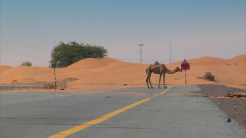 Dromedary on street with car 01 Stock Video Footage