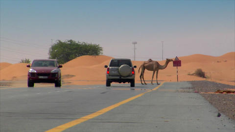 Dromedary on street with car 01 Footage