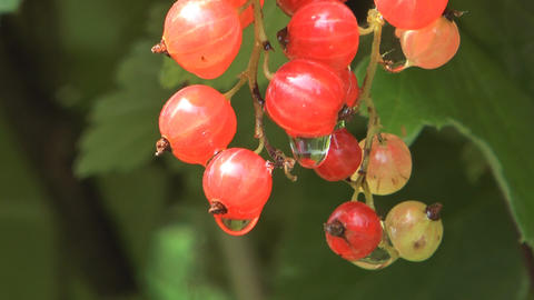 Bunch of red currant Live Action