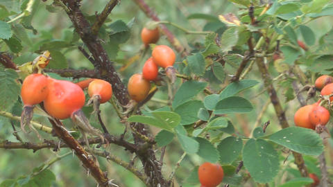 Rosehips stock footage