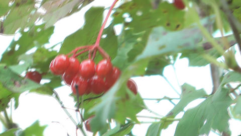Viburnum stock footage