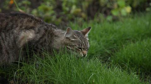 Cat eats grass Footage