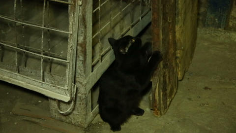 Black kitten sharpening his claws Footage