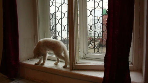 White cat on the windowsill Footage