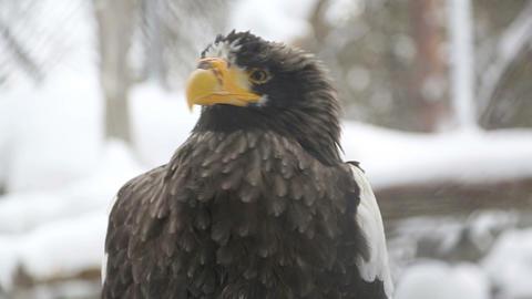 Sea eagle Footage