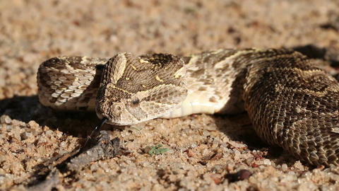 Defensive puff adder Live Action