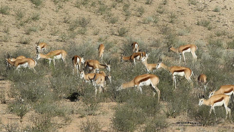 Feeding springbok antelopes Footage