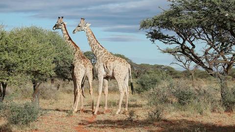 Giraffe interaction Footage