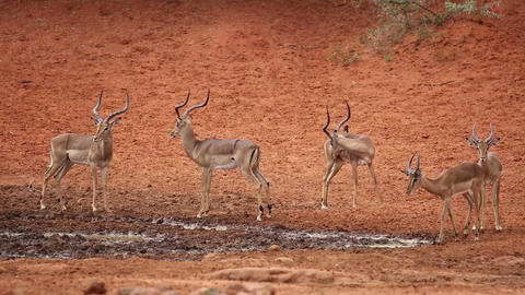 Impala antelopes at waterhole Footage