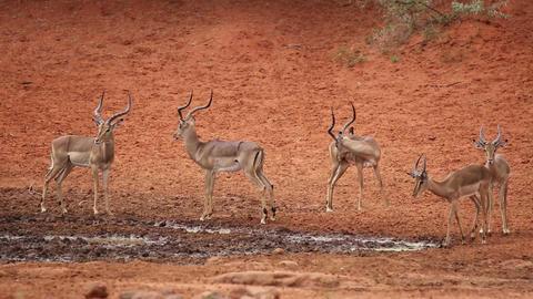 Impala antelopes at waterhole Footage