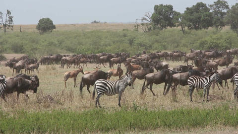 Wildebeest migration Footage