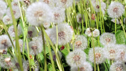 Dandelions in the meadow Footage