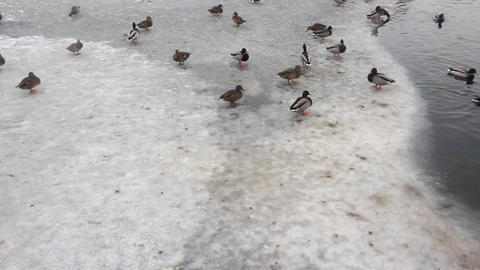 Crowd Of Ducks On Lake Ice In The Spring stock footage