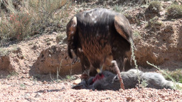 Eagle has killed a rabbit in Central Asia Footage