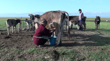 Milking cow in rural landscape Central Asia Footage