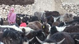People herd yaks in corral Tajikistan Footage