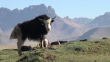 Curious yak in beautiful mountain landscape Footage