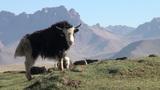 Curious yak in beautiful mountain landscape Footage