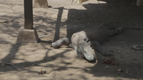 komodo dragons at the komodo national park 3 Footage