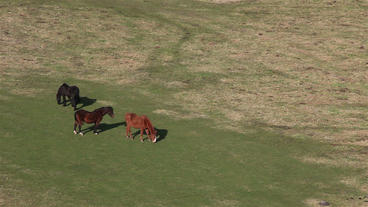 Horses Eating Grass On Field stock footage