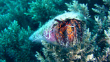 White-spotted hermit crab (Dardanus megistos) Footage
