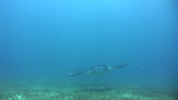 Manta ray (Manta blevirostris) swimming close by Footage