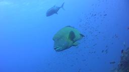 Napoleon wrasse (Cheilinus undulatus) swimming wit Footage