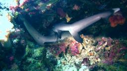 Whitetip reef shark (Triaenodon obesus) laying und Footage