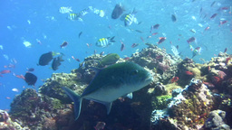 Bluefin trevally (Caranx melampygus) swimming clos Footage