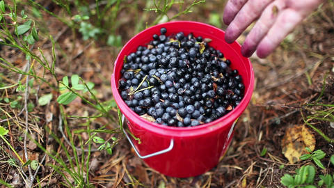 Full Bucket Of Blueberries stock footage