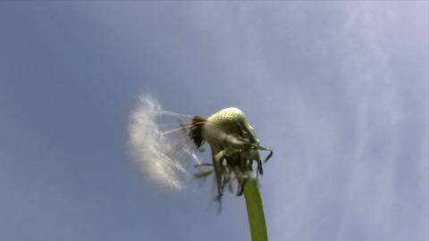 Dandelion In The Wind stock footage