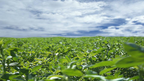 Alfalfa Field With Clouds Timelapse stock footage
