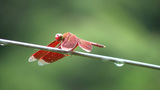 Red dragonfly, Batad, Philippines Footage