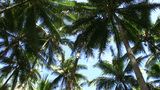 Coconut Plantation, Cebu, Philippines stock footage