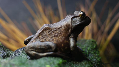 Frog Respiration Footage